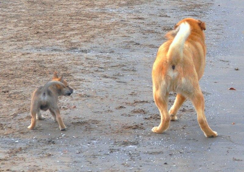 PUPPY DANCE LESSONS 10 pound tank puppy pics shiba shepherd_7290850806_l