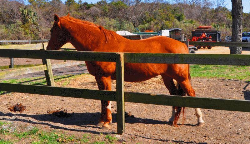 Travel Adventures -- All The Pretty Cavallino -- Seabrook Island, SC Equestrian Center GIF5