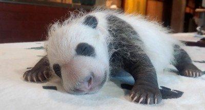 US-China-Panda-Cub